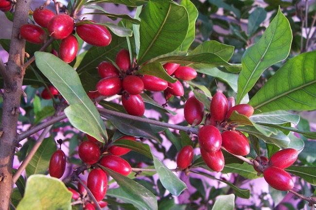 Trái thần kỳ: Loại trái cây kỳ bí giúp uống rượu bia như nước ngọt, ăn chanh ngọt như đường